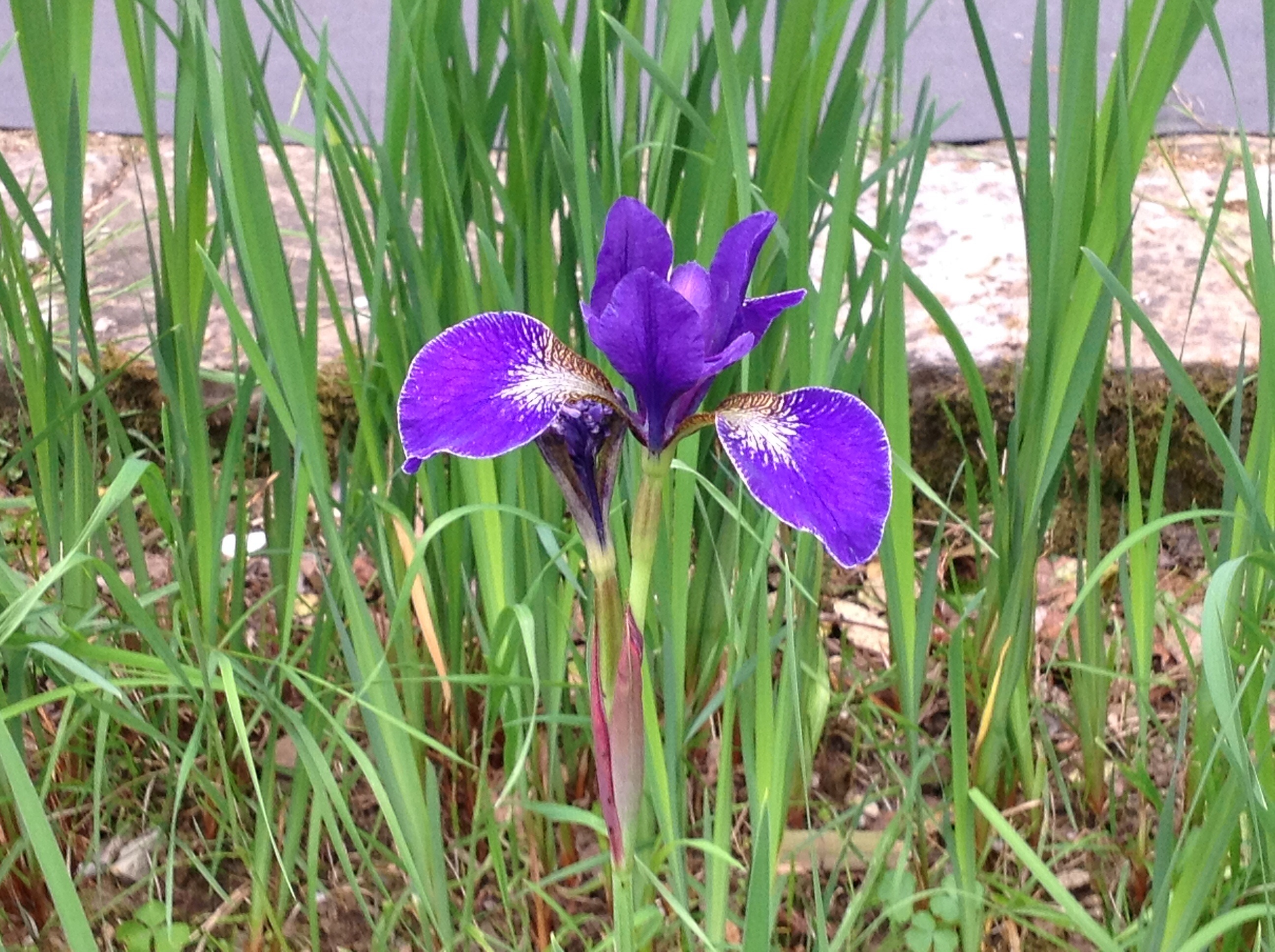 The garden of iris in florence florence guided tours by fantastic the garden of iris in florence izmirmasajfo Gallery
